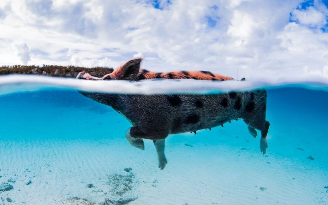 Everything You Should Know About The Wonderful Pig Island
